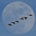 Geese with moon